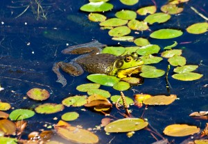 IMG_0037-bull-frog