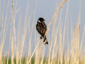 IMG_2887-reed-warbler-01