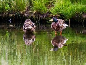 IMG_2978-ducks-01