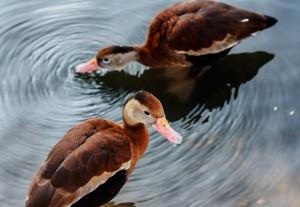 IMG_3384-ducks