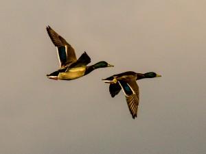 IMG_3595-ducks-02