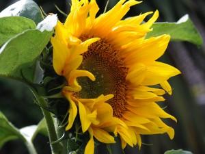 _MG_9313-sun-flower
